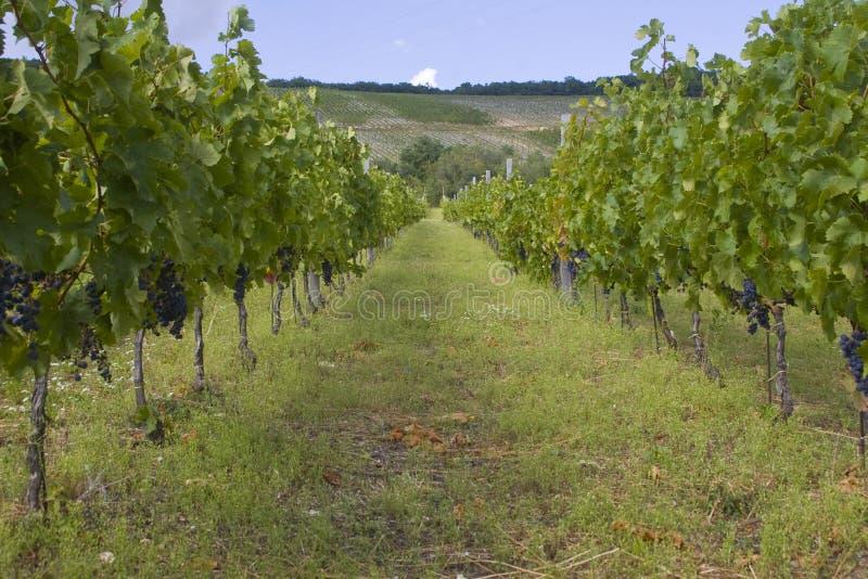 Traubenplantage lizenzfreies stockfoto