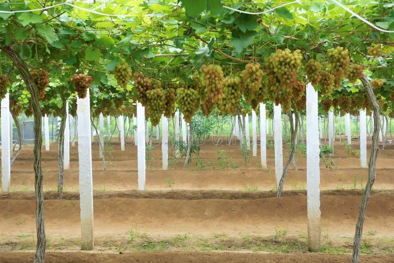 Traubenplantage lizenzfreie stockfotos