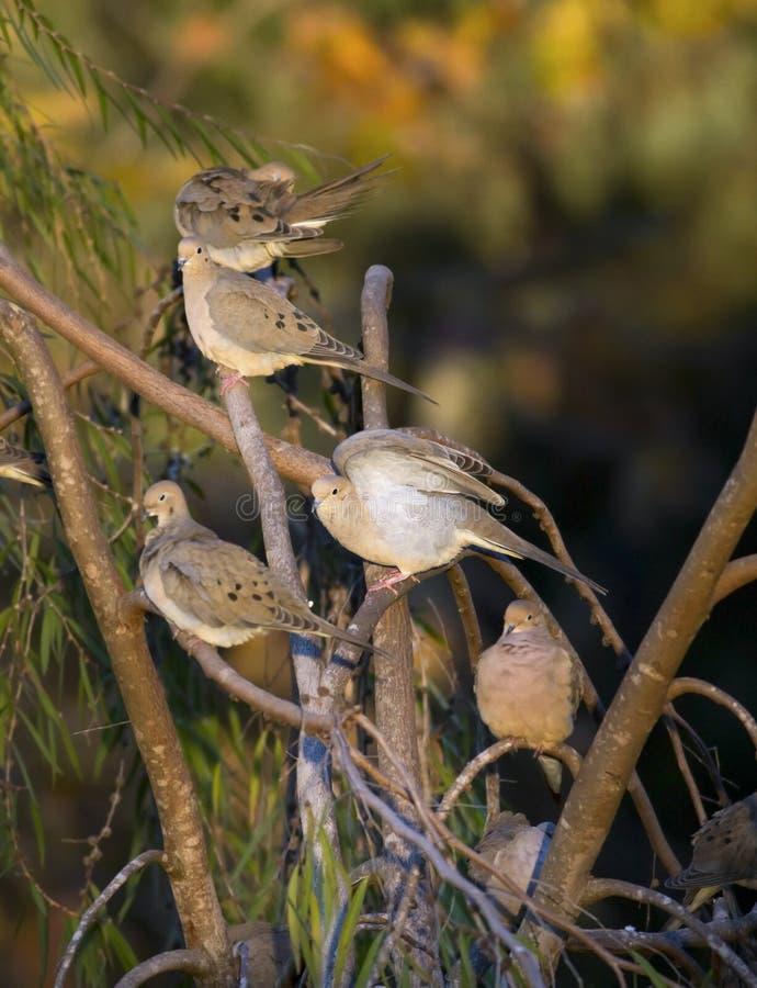 Trauer-Tauben auf Niederlassungen stockbild