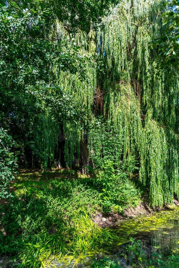 Trauerweidebaum im Wald an einem kleinen Nebenfluss lizenzfreie stockbilder