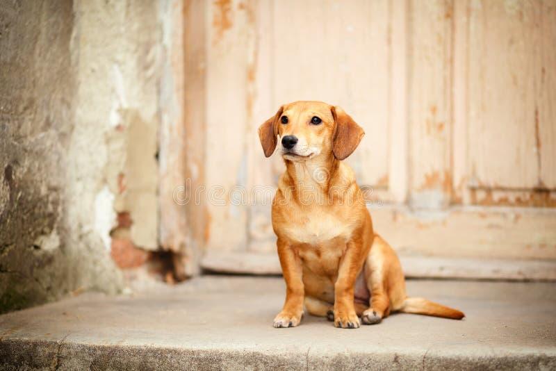 Traurig, erschrocken und verzweifelnd, verlassener kleiner Hund, der an der Haustür eines verlassenen, fast demolierten Hauses si stockfotos