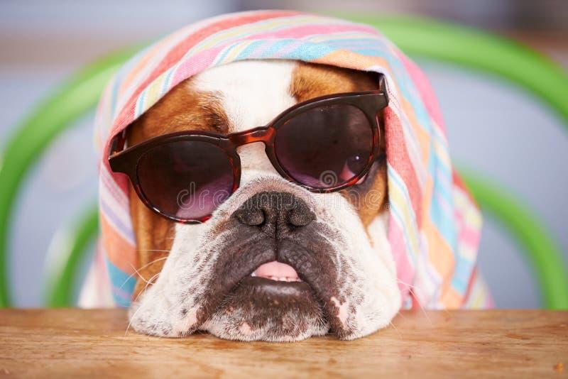 Traurige schauende britische Bulldoggen-tragende Sonnenbrille und Kopftuch lizenzfreie stockfotografie
