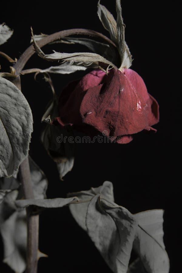 Traurige tote oder verwelkende rote Rose auf Schwarzem lizenzfreie stockfotografie