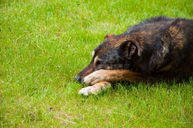 Trauriger alter Hund liegt auf dem hellgrünen Gras lizenzfreie stockbilder