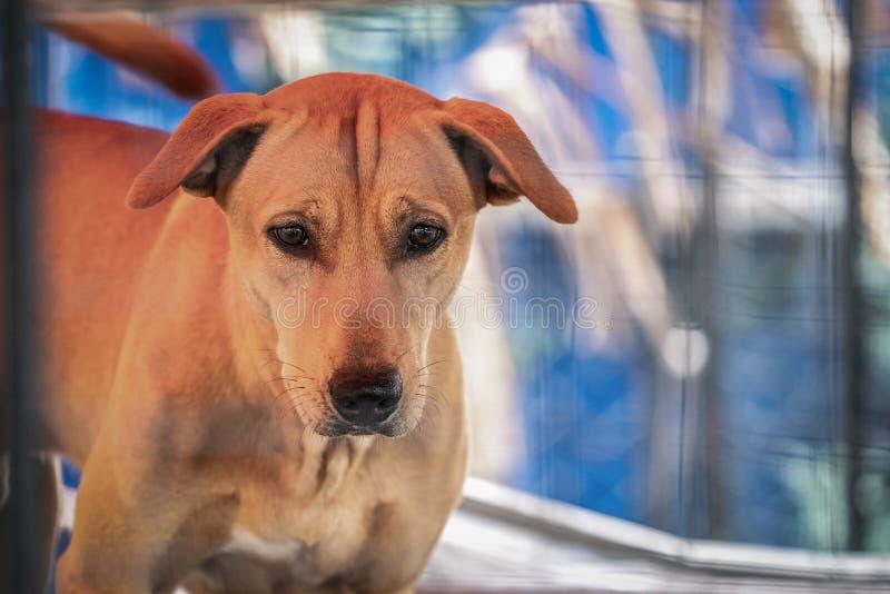 Trauriger brauner thail?ndischer Hund, der das ungl?ckliche von seinem Auge zeigt Es ist im alten K?fig stockbilder