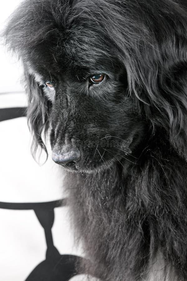 trauriger großer Hund stockfoto