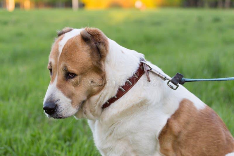 Trauriger großer Hund auf Leine lizenzfreie stockfotos