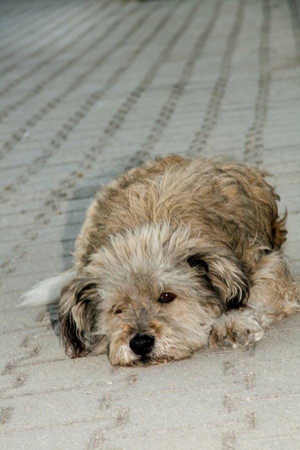 Trauriger Hund, der auf seinen Eigentümer wartet, um nach Hause zu kommen stockfotografie