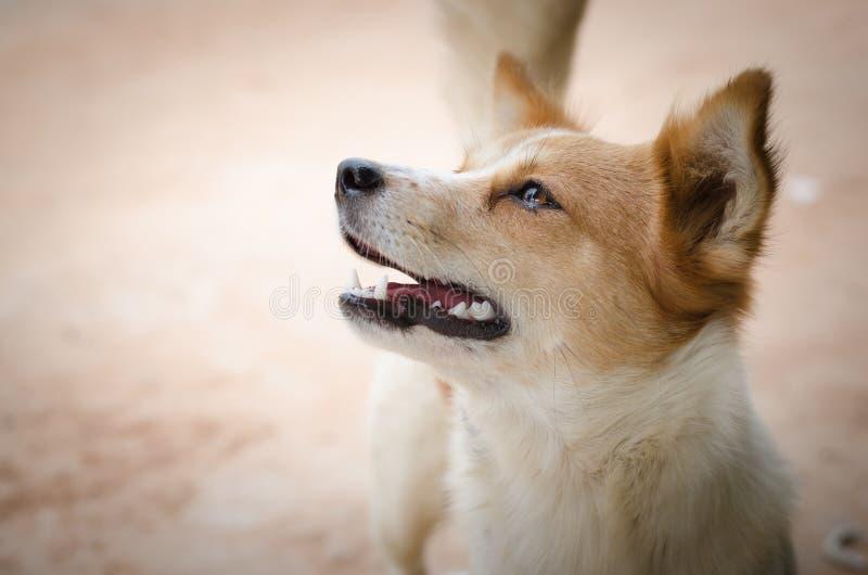 Trauriger Hund, der hilflos schaut lizenzfreies stockfoto