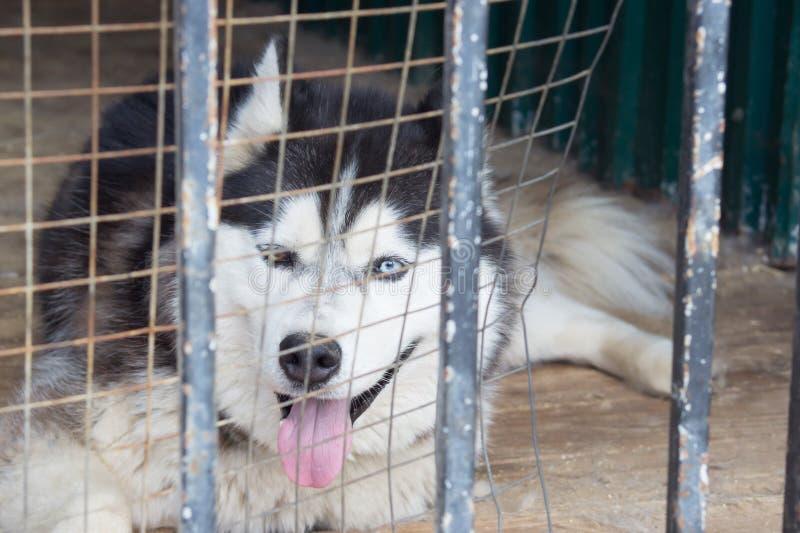 Trauriger Hund im Gefängnis hinter dem Zaun Heiserer Hund mit Augen von differe lizenzfreies stockfoto