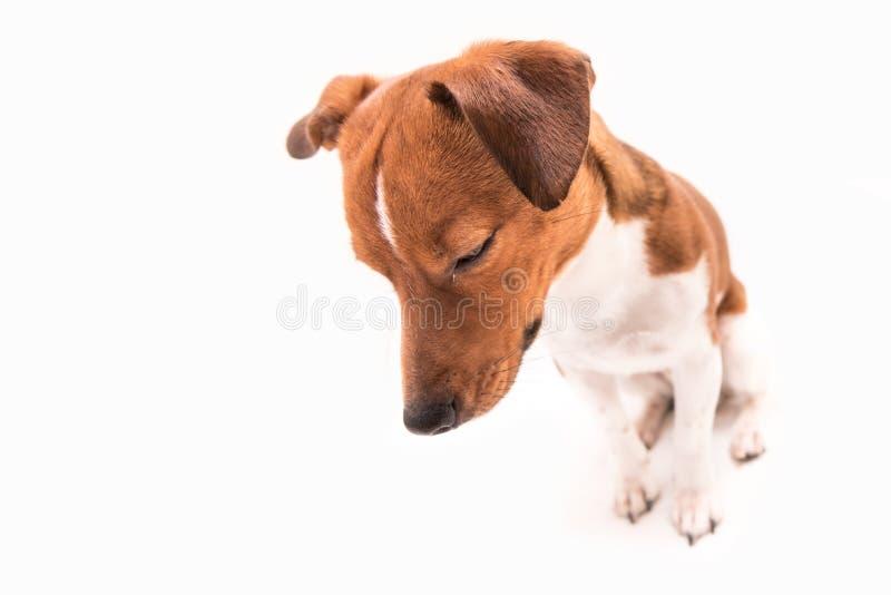 Trauriger Hund lokalisiert stockfotografie