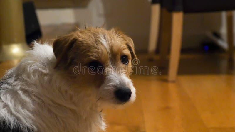Trauriger Hund Nahaufnahmeansicht Jack Russell Terriers, der zur Kamera sitzt auf hölzernem Küchenboden schaut stockfoto