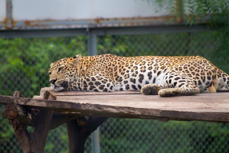 Trauriger Leopard im Zoo stockfotos