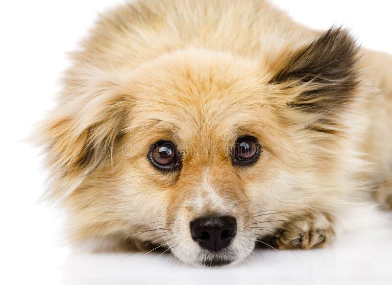 Trauriger Mischzuchthund, der in der Front liegt Getrennt auf weißem Hintergrund lizenzfreie stockfotos