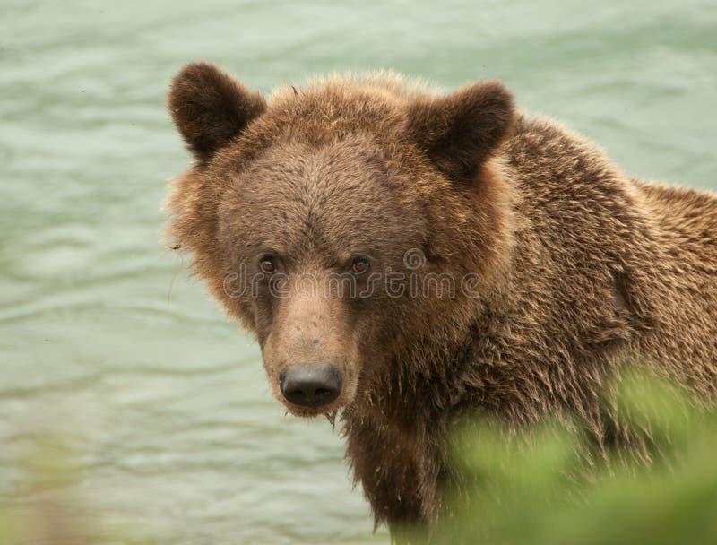 Alaska-Braunbärnahaufnahme lizenzfreie stockfotografie
