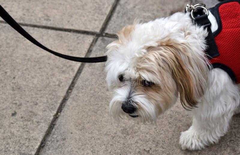 Trauriger schauender Hund, der für einen Weg genommen wird lizenzfreies stockfoto