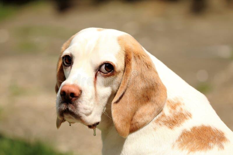 Trauriger Spürhund stockfotografie