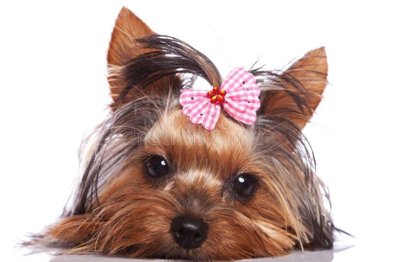 Trauriger Yorkshire-Terrierwelpenhund stockfoto