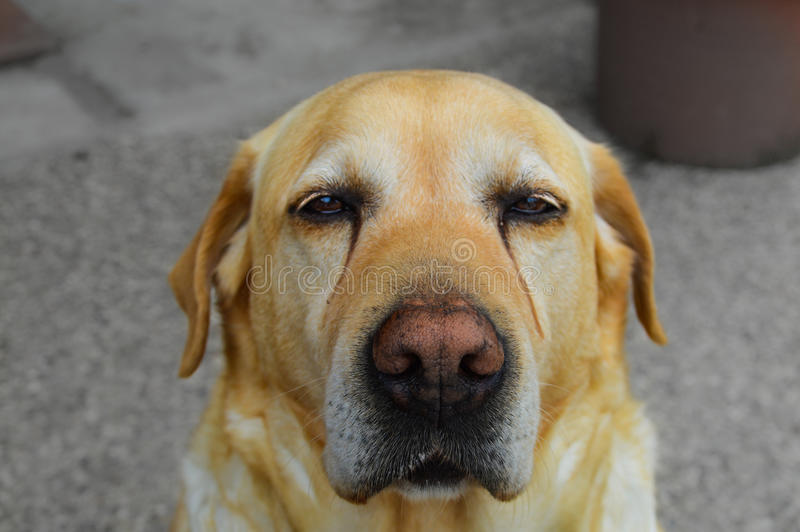 Trauriges Labrador stockbild