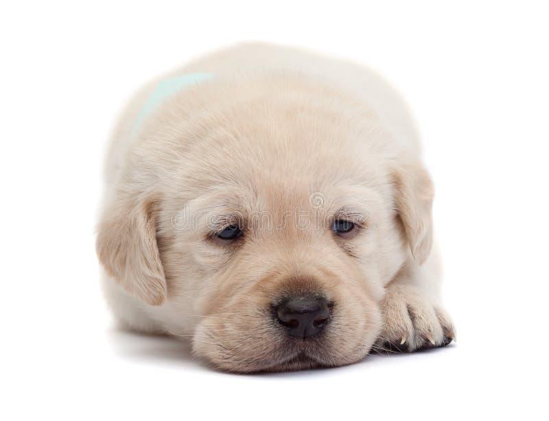 Trauriges und müdes Labrador-Hündchen, das seinen Kopf auf Tatzen - Isolator stillsteht stockbilder