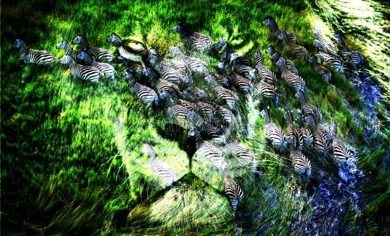 A través de la cara de un león una manada de cebras es visible fotografía de archivo