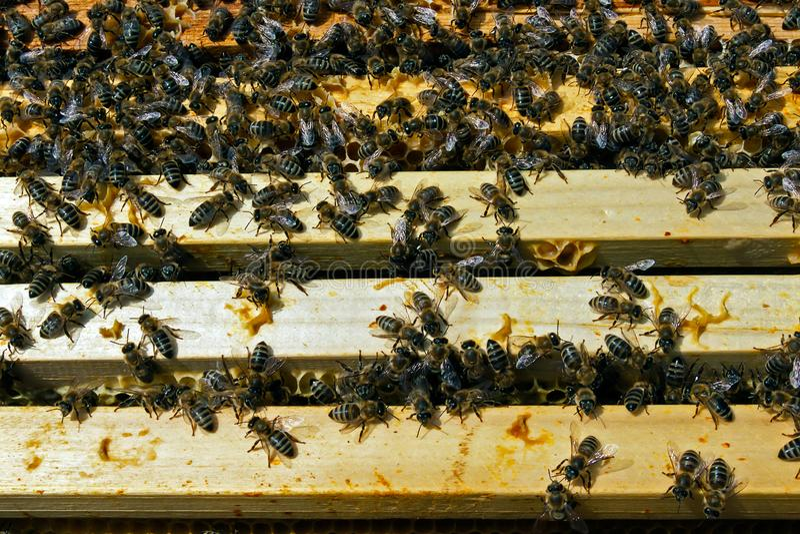 Travail d'équipe dans la production de miel à l'intérieur de la boîte de ruche images libres de droits