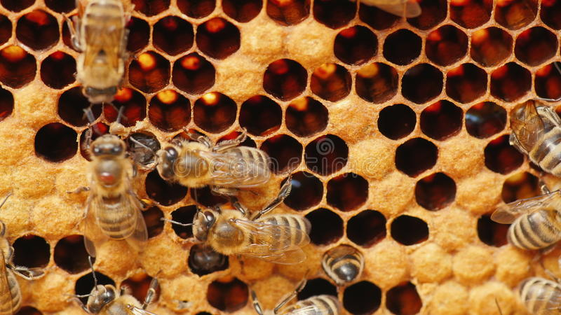 Travail d'abeilles de miel dans la ruche photos stock