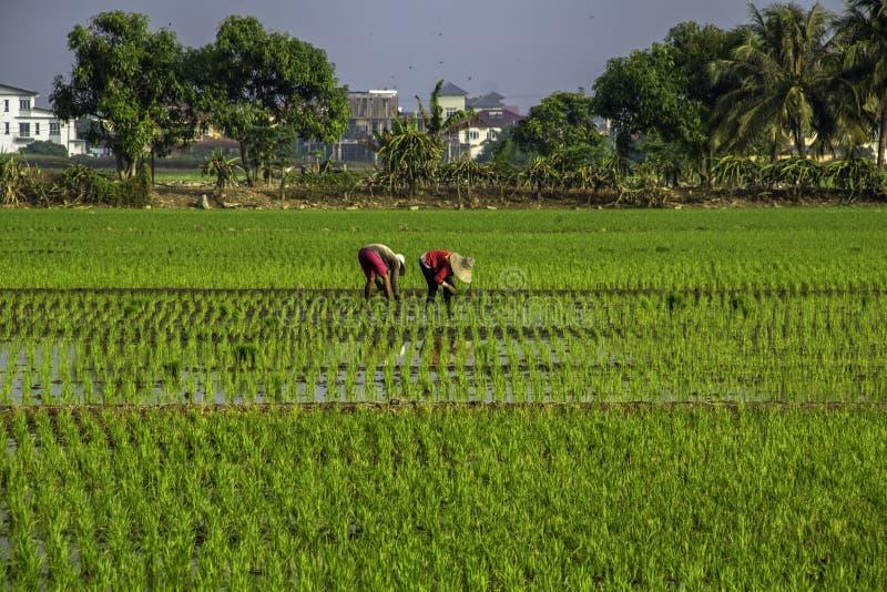 Travail d'agriculteur à la rizière photographie stock libre de droits