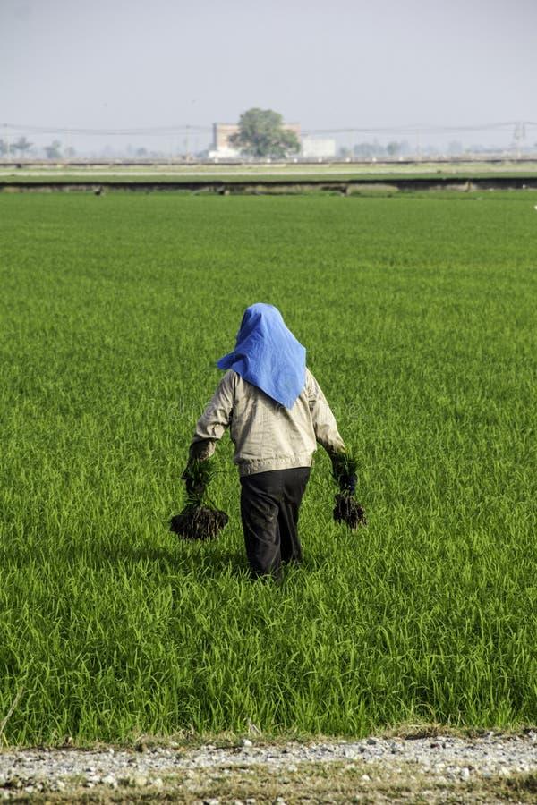 Travail d'agriculteur à la rizière photos libres de droits