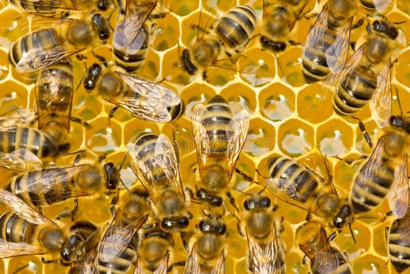 Travail de jeunes abeilles images stock