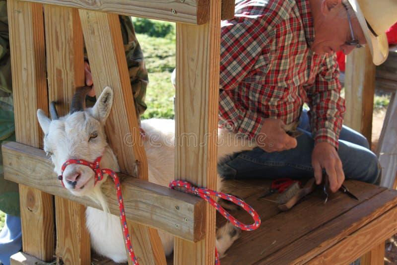 Travailler au sabot de chèvres photo libre de droits