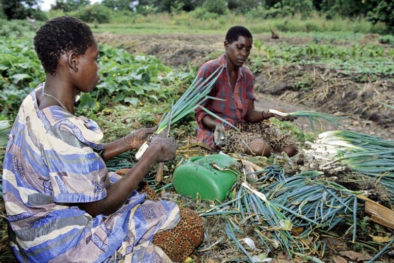 Travailler ougandais de femmes de la production alimentaire photographie stock libre de droits