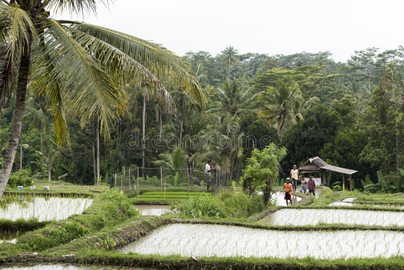 Travailleur dans des terrasses de riz, Bali photo stock