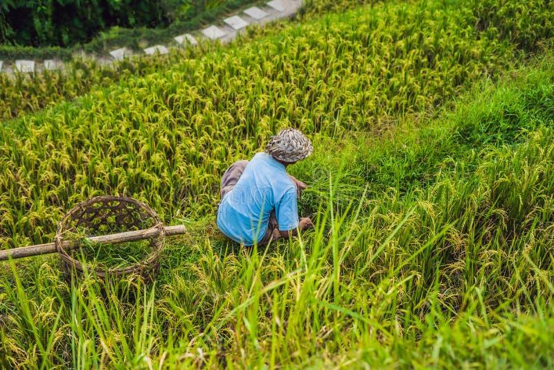Travailleur de Balinese sur la plantation verte de gisement de riz de cascade chez Tegala photo stock