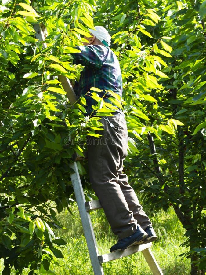 Travailleur de cerise photo libre de droits