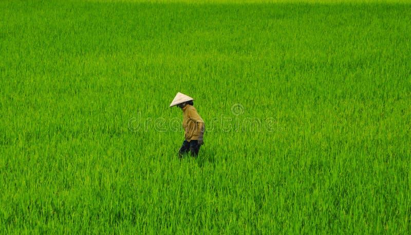 Travailleur de gisement de riz photographie stock