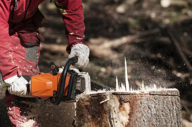 Travailleur de sylviculture coupant le tronçon d'un arbre impeccable avec la tronçonneuse photos stock