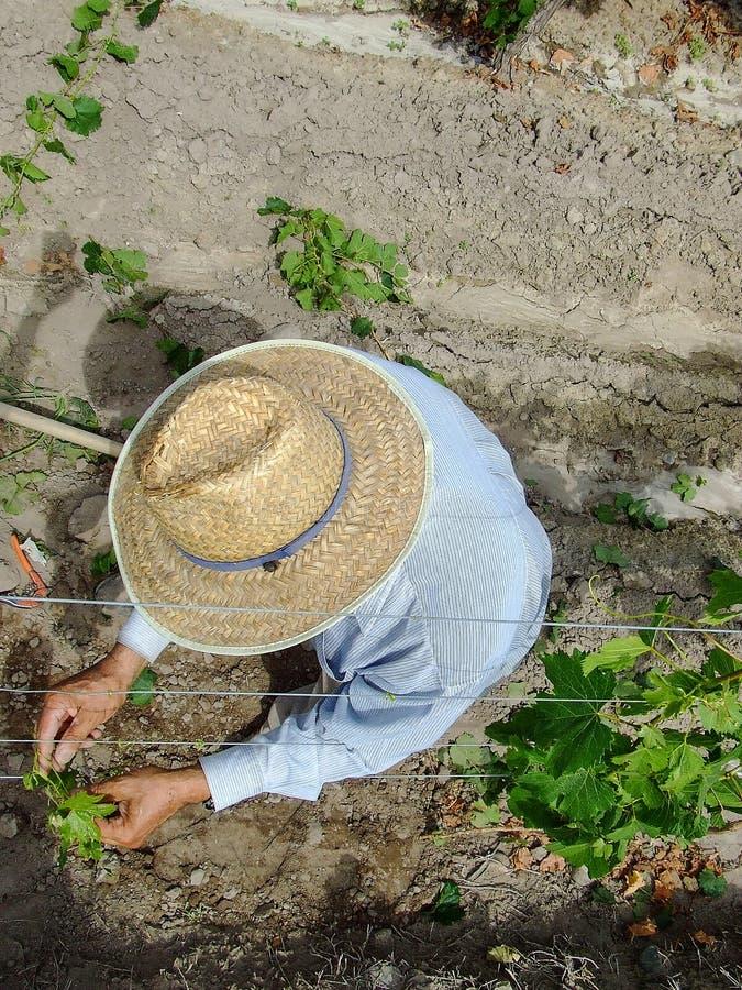 Travailleur de vignoble parmi photo stock