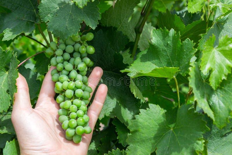 Travailleur de vignoble vérifiant la qualité de raisins dans le vignoble Le Winemaker vérifie la récolte des raisins image stock