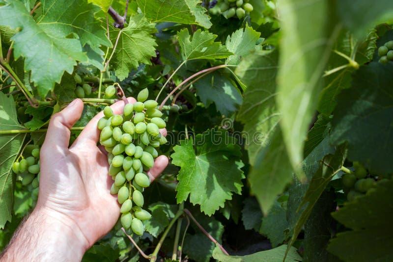 Travailleur de vignoble vérifiant la qualité de raisins dans le vignoble Le Winemaker vérifie la récolte des raisins photographie stock libre de droits