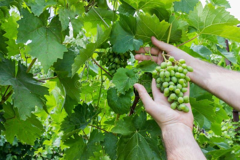 Travailleur de vignoble vérifiant la qualité de raisins dans le vignoble Le Winemaker vérifie la récolte des raisins photos libres de droits