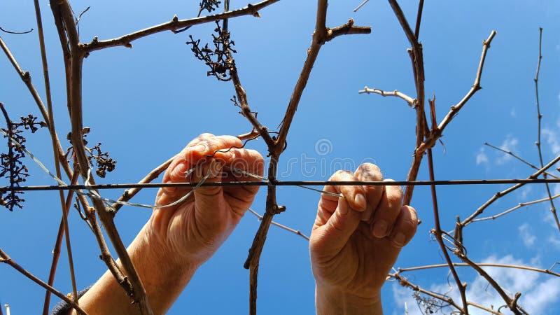 Travailleur pour attacher le vignoble photos stock