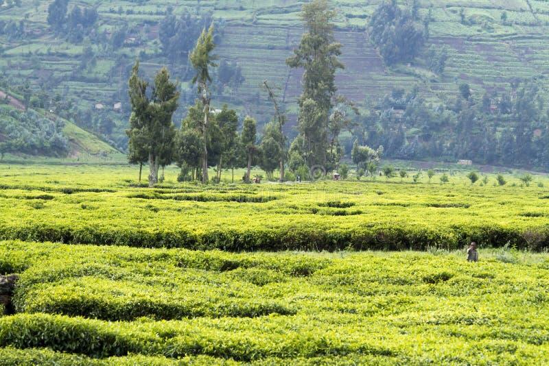 Travailleurs à la plantation de thé image libre de droits