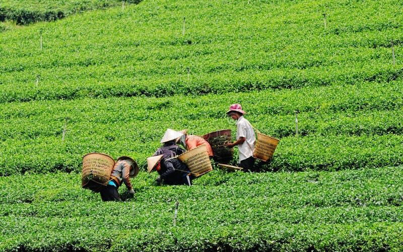 Travailleurs asiatiques moissonnant le thé photographie stock libre de droits