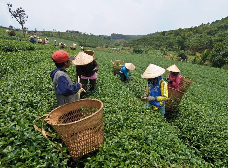 Travailleurs asiatiques moissonnant le thé photographie stock
