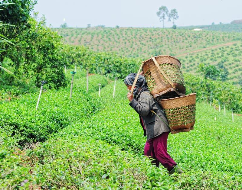 Travailleurs asiatiques moissonnant le thé images stock