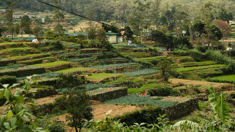 Travailleurs bleus célèbres de plantations de thé de Sri Lanka photos libres de droits