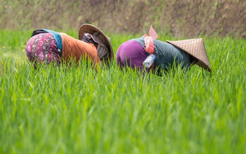 Travailleurs enlevant des mauvaises herbes sur un gisement en terrasse de riz de Balinese photos libres de droits