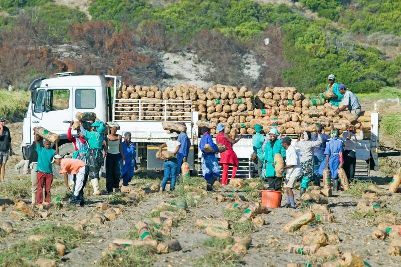 Travailleurs noirs de ferme moissonnant des pommes de terre et chargeant sur le camion à Cape Town, Afrique du Sud image libre de droits