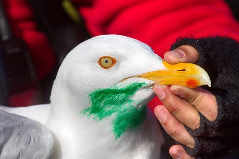 Travando, gaivota glauco de marcação (hyperboreus do Larus) com objecti foto de stock